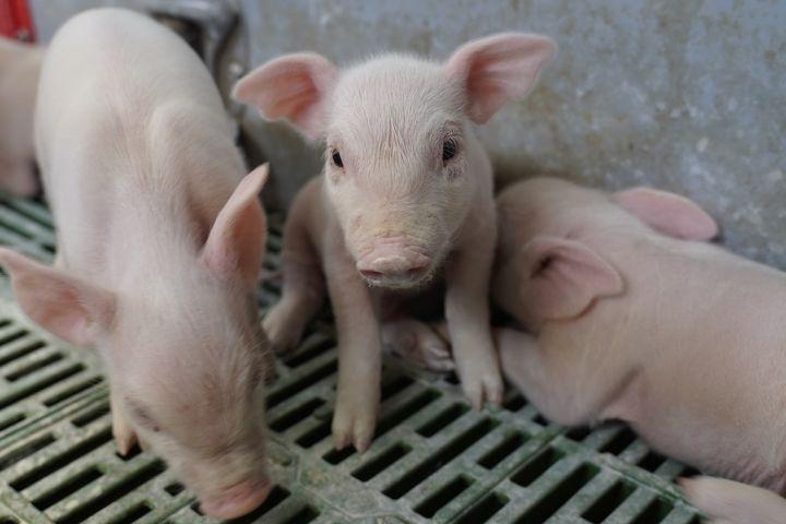 Глобальная неизбежность: Украинское свиноводство в условиях АЧС