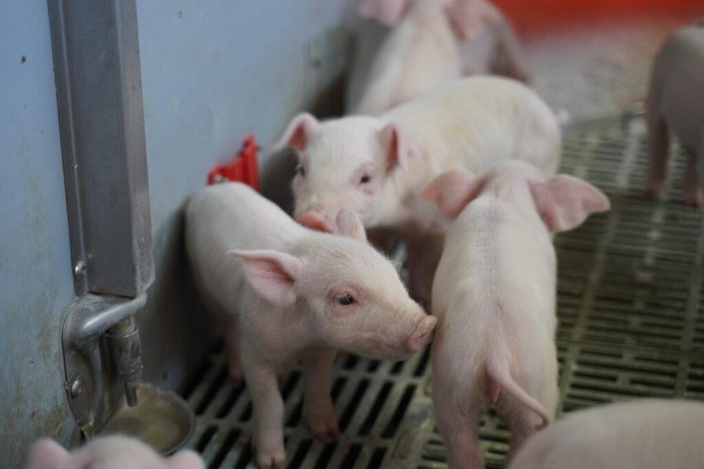 Як створити успішну свиноферму, що приносить прибуток — показуємо на прикладі свинокомплексів VITAGRO.